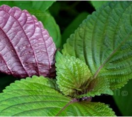 Perilla, Shiso 'Hojiso' Bi-coloured Leaf