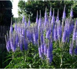 Veronica longifolia 'Blue Shades'