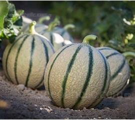 Melon 'F1 Irina'