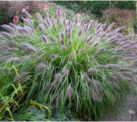 Pennisetum alopecuroides var. viridescens