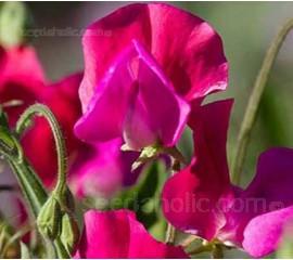 Lathyrus odoratus, Grandiflora 'Prince Edward of York'