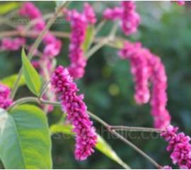 Persicaria orientalis 'Cerise Pearls'