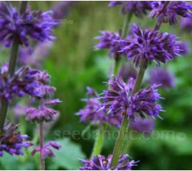 Salvia verticillata 'Purple Fairy Tale'