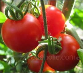 Tomato 'Bloody Butcher'