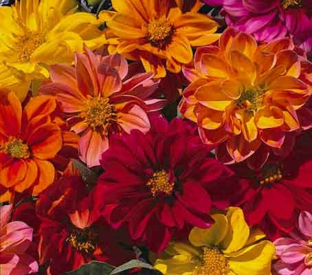 Dahlia 'Figaro Mixed' is the best quality dwarf double flowered variety.