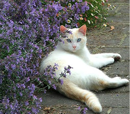 Cats adore the plant, rolling in nepeta and even eating it.