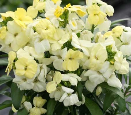 """Growing to around 25 to 30cm, with a neat and compact habit, this variety is very floriferous, easy to grow and very """"cottage garden."""""""