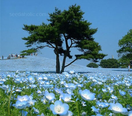 They are used extensively to amazing effect at the Hitachi seaside park in Japan