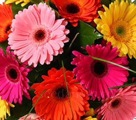 Gerbera jamesonii is easily recognised by the elegant large, flower heads with extremely large rays.