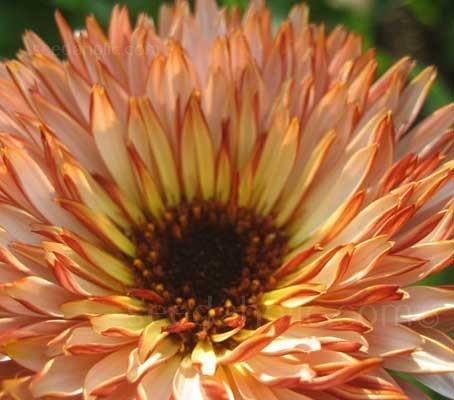 Calendula officinalis 'Sunset Buff' has soft buff-apricot petals, each with crimson backs.
