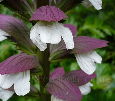 If you have the space in your garden Acanthus mollis is one plant to choose.