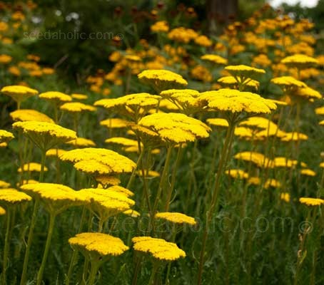 Achillea filipendulina 'Cloth of Gold' requires full sun for best flower production, but, this is little to ask for such a grand reward.