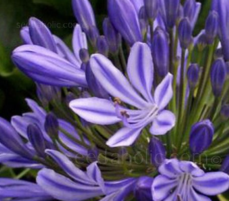 The Blue African Lily is one of the aristocrats of the late summer garden