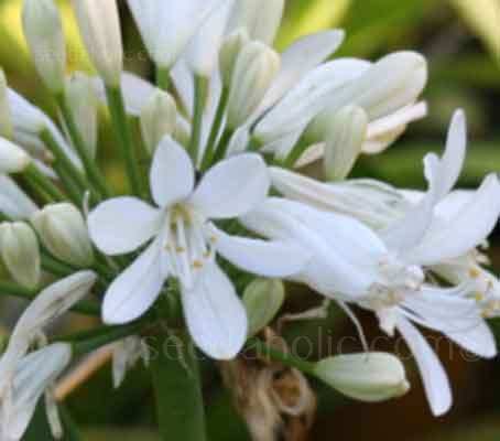 White Agapanthus is dazzling against a dark green backdrop.