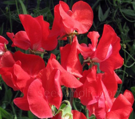 'Air Warden' is a traditional Spencer waved sweet pea, with striking cerise scarlet blooms and an intense full bodied perfume.