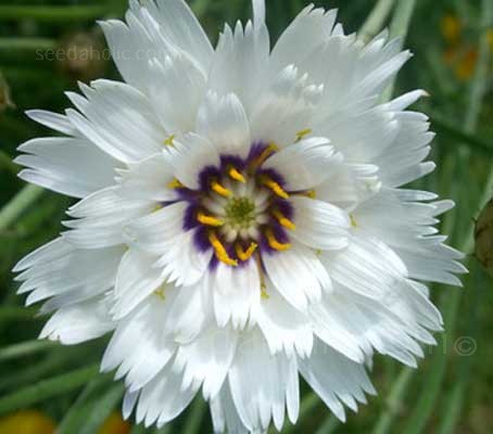 'Amor White' produces stunning blooms of white, star like flowers each with a dark purple-blue eye.