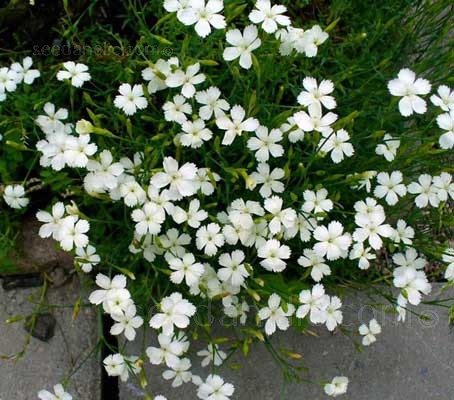 They can be used as a ground cover in gravel gardens or to edge a path or walkway.
