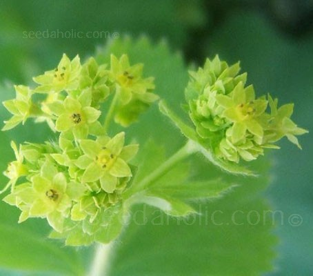 The unpretentious Lady's Mantle is extremely useful for both its foliage and its flowers.