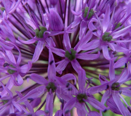Allium 'Purple Sensation' is a stunning fashionable plant, with globes of rosy-purple crowded spherical umbels, and strap shaped leaves.