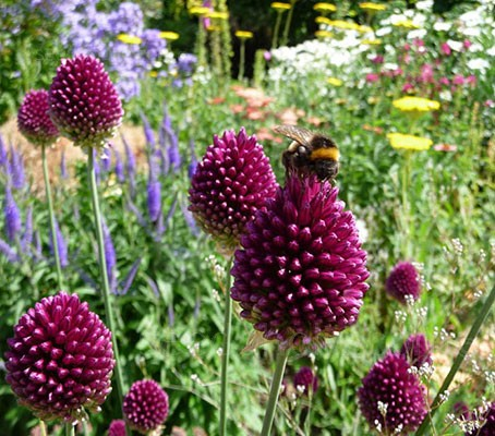 The tall slender stems are good at adding colour and movement to the garden,