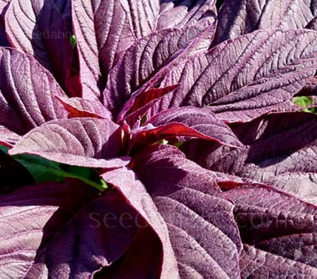 Amaranthus tricolor, 'Red Army'