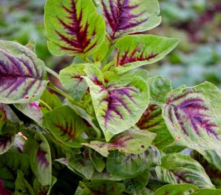 Amaranthus tricolor, 'Variegated' has oval, mid-green leaves that are streaked through with shades of red and purple.