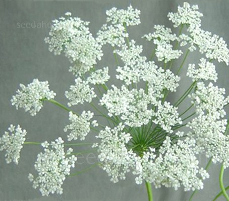 In summer, Ammi majus bears an abundance of large round blooms made up of clusters of tiny white florets.