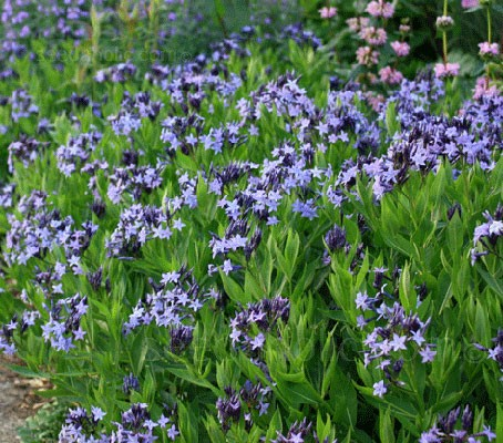 One of the loveliest of Amsonia, Amsonia tabernaemontana 'Blue Star' is easier to cultivate than it is to pronounce