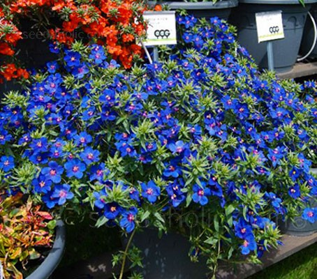 Anagallis monellii has one of the brightest gentian-blue flowers available.