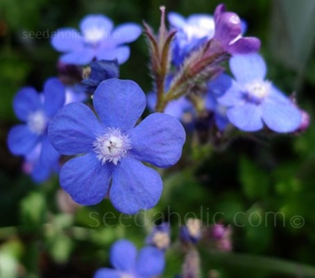 Easy to grow and trouble free, team Anchusa capensis 'Blue Angel' with other annuals or perennials for eye-popping combinations.
