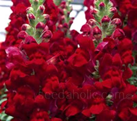 Antirrhinum majus 'Ruby' produces densely packed spikes that bloom in succession with voluptuous, rich ruby red flowers.