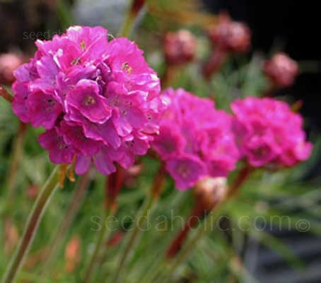 This compact, evergreen perennial grows in low clumps and sends up long stems from which globes of bright pink blooms.
