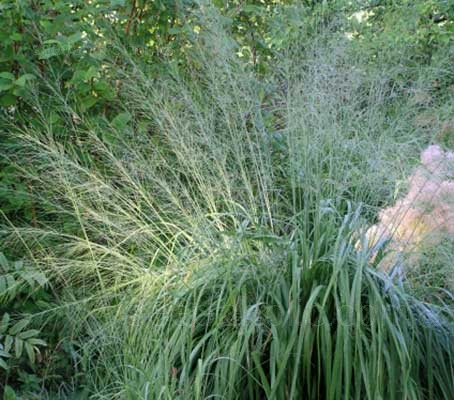 Molinia caerulea ssp.arundinacea feature clumps of arching foliage and tall, see-through flower spikes.