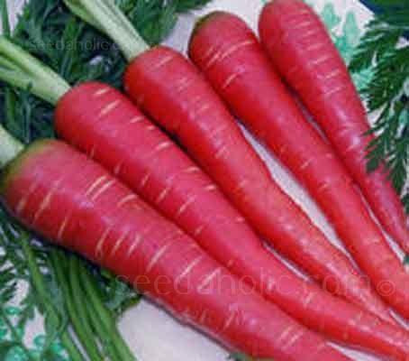Atomic Red carrot is a distinctively beautiful scarlet-coral coloured carrot produces long tapered roots.