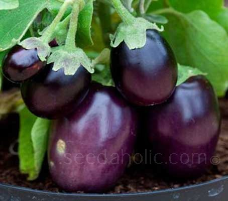 Aubergine 'Kaberi F1' is a small fruited, compact bush variety of aubergine, ideal for use in containers.