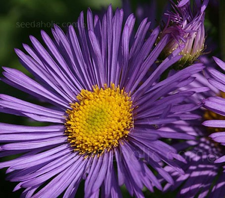"Erigeron ""Azure Fairy"" is a traditional border favourite, low maintenance, reliable and long lived."