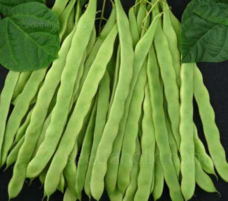 French Bean 'Hunter' combine the tenderness and reliability of a French bean and the good, meaty harvest from a Runner.