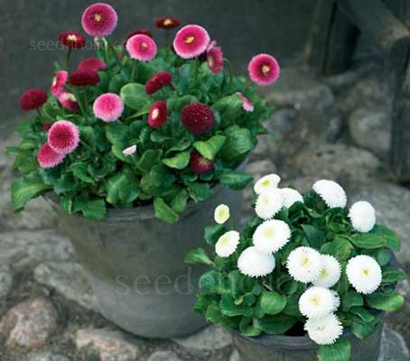 Pomponette Mix boasts masses of tightly quilled 4cm button, fully double flowers on neat, compact plants.