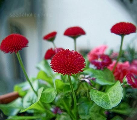 Bellis perennis 'Pomponette Red'