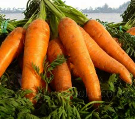 Carrot Berlicum is a long, cylindrical shaped, stump rooted type of carrot, suitable for maincrop production.