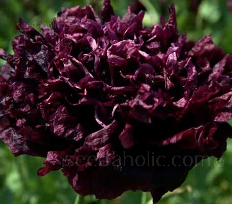 Papaver paeoniflorum 'Black Peony' has fascinating, large, fully double, dark purple-maroon, almost black flowers, with lovely crinkled petals.