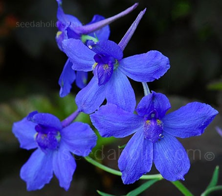 'Blue Butterfly' produces racemes of a rich true gentian blue. Simply gorgeous.