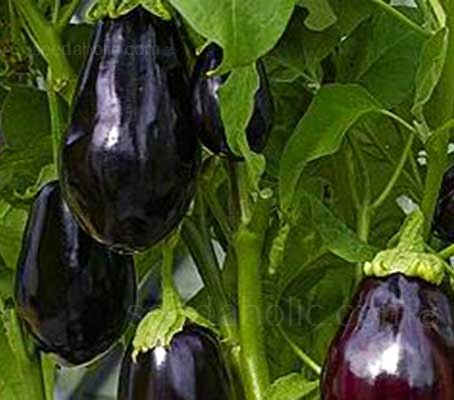 Aubergine 'Bonica' is an early maturing variety that performs well in difficult growing seasons.