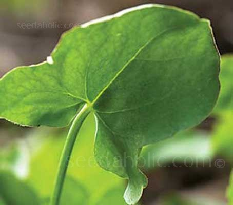 With pretty leaves that are shaped like a shield, Buckler leaf sorrel is a superb salad crop.