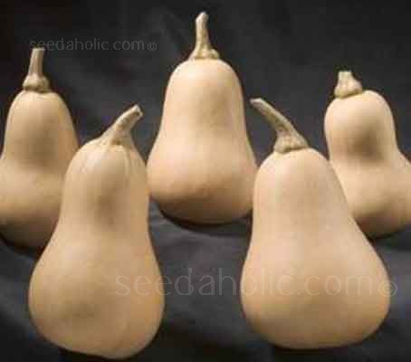 'Hunter F1' is an early maturing Butternut Squash which has been developed to suit the UK climate.