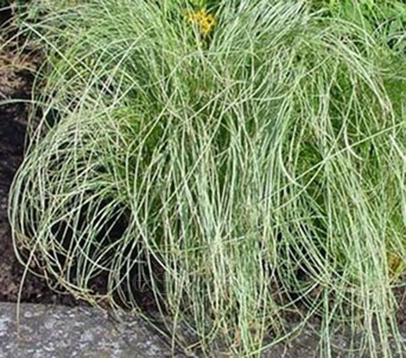Carex comans 'Amazon Mist'  (Collection)