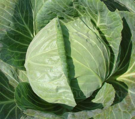 A very well known and trusted variety, Cabbage Primo II produces solid 'ball head' cabbage.