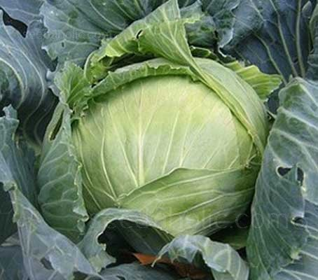 Cabbage 'Brunswick'