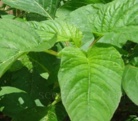 Amaranth 'Green Giant', he popular Calaloo in Caribbean cuisine produces slightly savoyed, large mid green leaves.
