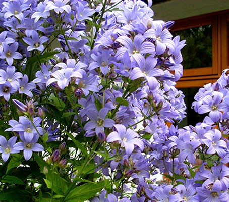 Campanula lactiflora 'Prichard's Variety' is appreciated for its long bloom time, stately presence and violet-blue colour.